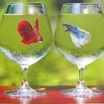 癒しのペット。コップで飼える魚 ベタ